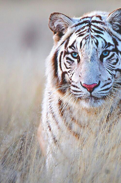 14 best images about <b>White Tigers</b> on Pinterest