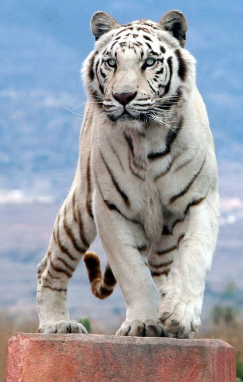 Amazing Animated White Tiger Gif Images at Best Animations Baby Tigers Sleeping